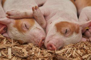 Gummimåtter og andet udstyr til grise – Kvalitetsudvalg